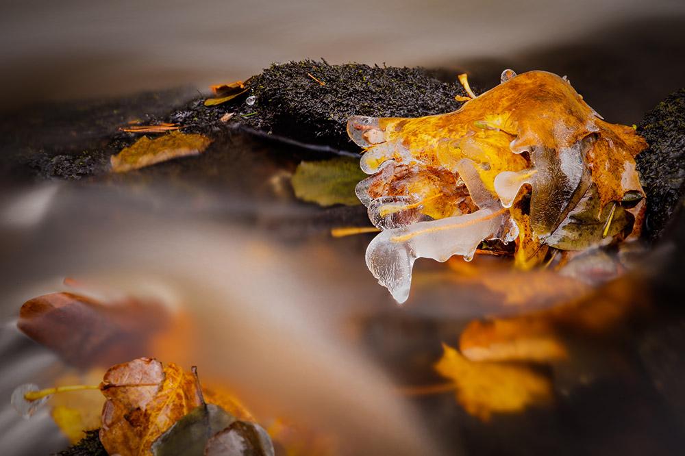 A frozen leaf in Solbukta. Photo: John Einar Sandvand